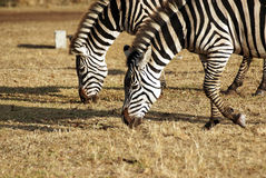 Wild zebra couple grazing Royalty Free Stock Images