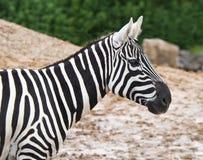 Wild Zebra detail Stock Image