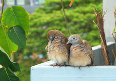 Wild Zebra Dove Couple Preening and Relaxing Side by Side Royalty Free Stock Image