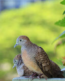 Wild Zebra Dove couple relaxing happily side by side in the sunlight, Bangkok urban. Thailand Stock Photography