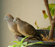 Wild Zebra Dove Couple Relaxing Together on the Planter Royalty Free Stock Image