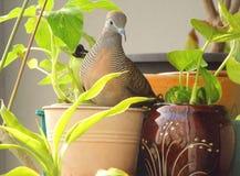 Wild Zebra Dove on an Orange Color Planter Stock Images
