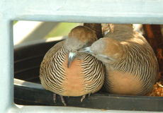 Wild Zebra Dove preening his mate at the balcony Stock Images