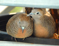 Wild Zebra Dove preening its mate at the balcony Royalty Free Stock Images