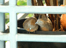 Wild Zebra Dove preening its mate on a planter at the balcony Royalty Free Stock Photos