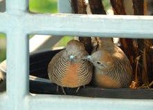 Wild Zebra Dove preening its mate sweetly on the planter Stock Photo