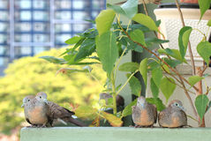 Wild Zebra Doves Relaxing at the Condo Balcony, Bangkok Royalty Free Stock Image
