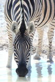 Wild zebra drinking royalty free stock photography