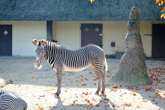 Wild zebra equus with stripes. Back and white Royalty Free Stock Image