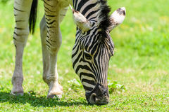 Wild Zebra Grazing On Fresh Green Grass Royalty Free Stock Photos