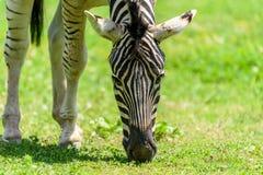 Wild Zebra Grazing On Fresh Green Grass Stock Photography