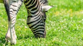 Wild Zebra Grazing On Fresh Green Grass Royalty Free Stock Photography