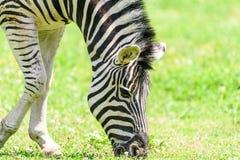 Wild Zebra Grazing On Fresh Green Grass Stock Images
