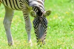 Wild Zebra Grazing On Fresh Green Grass Stock Image