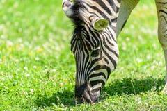 Wild Zebra Grazing On Fresh Green Grass Stock Photos