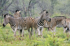 Wild zebra Royalty Free Stock Image