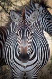 A zebra looks directly into the camera lens in Tanzania royalty free stock image
