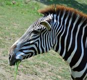 Wild zebra. Zebra photo shoot in the wild . Pictures of nature and animals living on our planet Royalty Free Stock Image