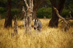 Wild Zebra on the plains. Burchell`s zebra in botswana, south africa Stock Images