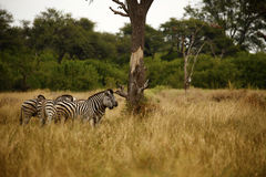 Wild Zebra on the plains. Burchell`s zebra in botswana, south africa Stock Image