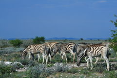 Wild zebra's Royalty Free Stock Image