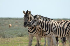 Wild zebra's face to face stock photography