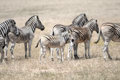 Wild Zebra. A shot of African Zebra in the wild stock photos