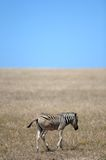 Wild Zebra. A shot of African Zebra in the wild stock photography
