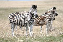 Wild Zebra. A shot of African Zebra in the wild stock images