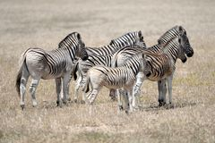 Wild Zebra. A shot of African Zebra in the wild royalty free stock photo