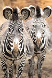 Wild Zebra Stock Photo
