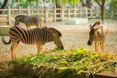 Wild Zebra socialising Stock Photography