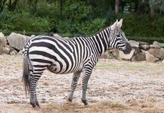 Wild Zebra standing Royalty Free Stock Photo