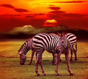 Wild zebra standing in green grass field against beautiful dusky Stock Photos