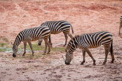 Wild Zebra Royalty Free Stock Photos