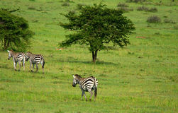 Wild zebras Stock Photos