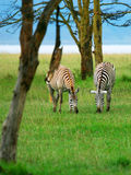 Wild zebras Stock Image