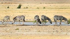 Wild zebras Royalty Free Stock Photography