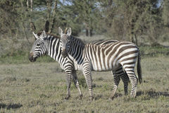 Wild zebras in Africa. Royalty Free Stock Photos