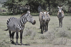 Wild zebras in Africa. Stock Photos