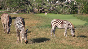 Wild zebras eating grass Royalty Free Stock Photography