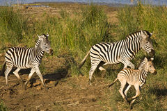 Wild zebras family running in the bush , Kruger National park, South Africa Stock Photo