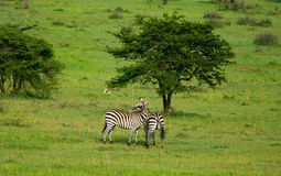 Wild zebras in love Stock Photos