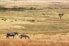 Wild zebras on pasture of Serengeti National park Stock Photo