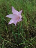 Wild Zephyranthes Plant with Rain Drops Blossoming on Meadow. Royalty Free Stock Image