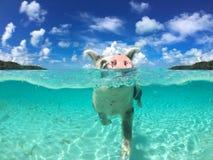 Wild, zwemmend varken op Grote Majoorscay in de Bahamas royalty-vrije stock afbeeldingen