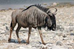 Wildabeest στη Ναμίμπια Στοκ Φωτογραφία