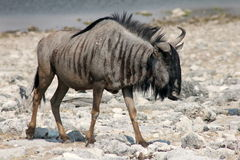 Wildebeest  in Namibia. A Wildebeest or Gnus in Etosha National Park Namibia Stock Photography