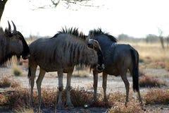 Wildbeast de Etosha África fotografia de stock royalty free