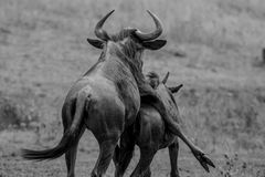 Wildbeast having sex and fun in Kruger. Blue Wildebeast or wildebeest having sex and fun in Kruger national park Stock Photos